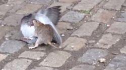 비둘기와 쥐가 제대로