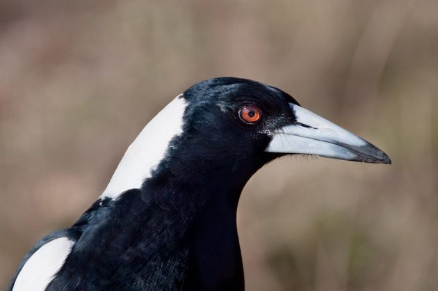 Portrait of wild Australian Magpie bird. CLose