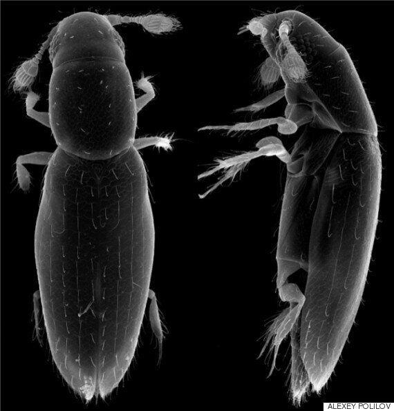 세계에서 가장 작은 독립 생활 곤충