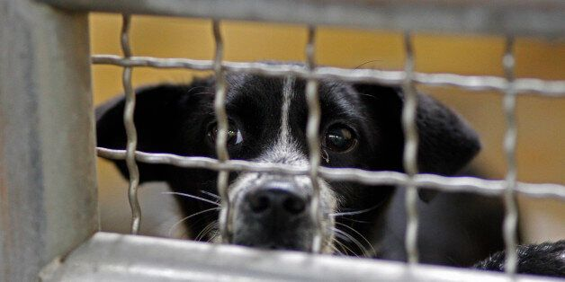 In this photo taken on Monday, April 9, 2012, a dog looks for attention at a government-run shelter in...