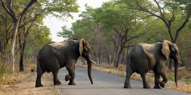 In this photo taken on Thursday, Oct. 1, 2015, elephants cross the road in Hwange National Park, about...