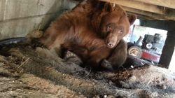 마루 밑으로 불곰이
