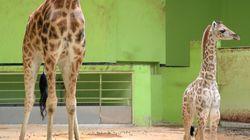 서울동물원에서 8년 만에 기린