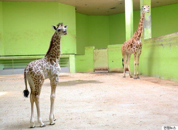서울동물원에서 8년 만에 기린이