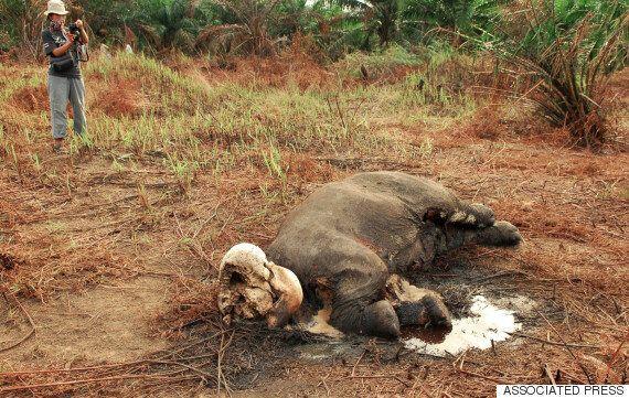 국립공원에서 사랑받던 코끼리가 상아를 노린 밀렵꾼에