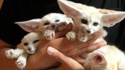인천대공원에서 태어난 사막여우 새끼