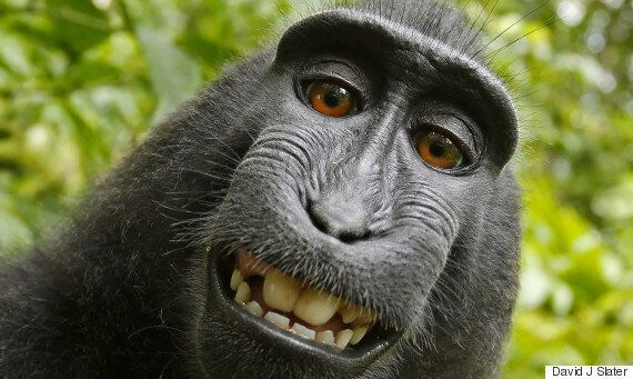 PETA, '원숭이 셀카 사진 저작권은 원숭이에게 있다'며 소송을
