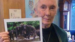 제인 구달이 66마리의 침팬지를 살리려