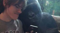 이건 그저 웃기는 동영상이 아니다 : 고릴라에게 스마트폰으로 다른 고릴라 사진을