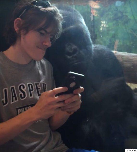 동물원 고릴라에게 다른 고릴라 사진을 스마트폰으로
