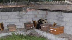 중국의 양봉장에 침입한 야생 판다(사진