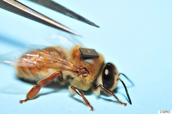 과학자들이 꿀벌들에게 '백팩'을 메주는
