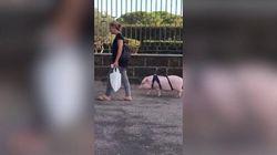 La padrona porta a spasso a Roma il suo maiale: