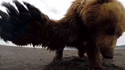 이 회색곰은 고프로 카메라가 정말