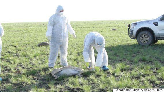 과학자들은 아직 큰코영양떼 죽음의 원인을 밝혀내지