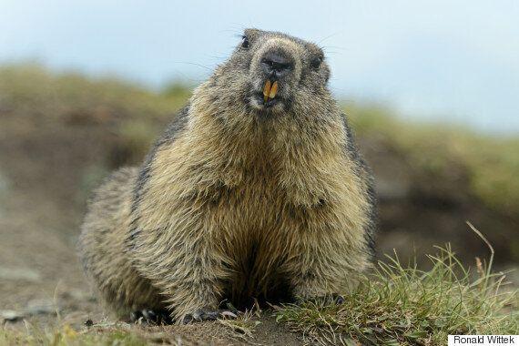 표정과는 다른 느낌의 마못(Marmot)