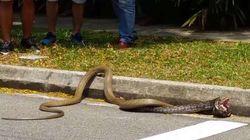 비단뱀 VS 코브라 : 캠퍼스의