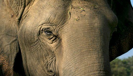 태국, '불법 거래' 코끼리 상아를 모조리