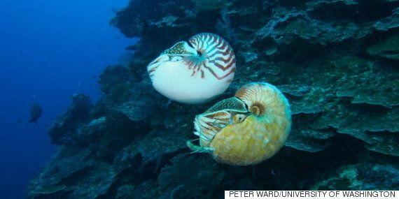 이것이 바로 지구에서 가장 희귀한 생물 '알로노틸러스