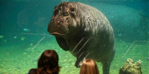 People watch as a hippopotamus, named Genny, looks back at them at Adventure Aquarium, Thursday, May...