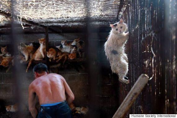 개고기 축제에서 살아남은 이 고양이는 어떻게