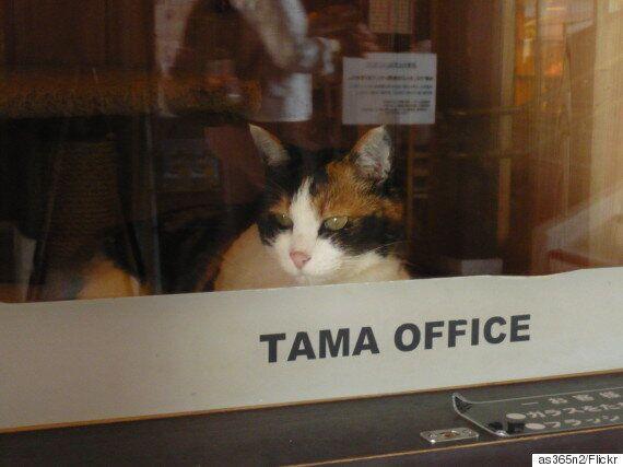 무지개 다리를 건넌 와카야마 전철 역장 고양이 '다마'의 후임이