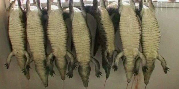 '버킨 백' 뒤에 숨겨진 '악어의 눈물' | 파충류 가죽 산업의 동물