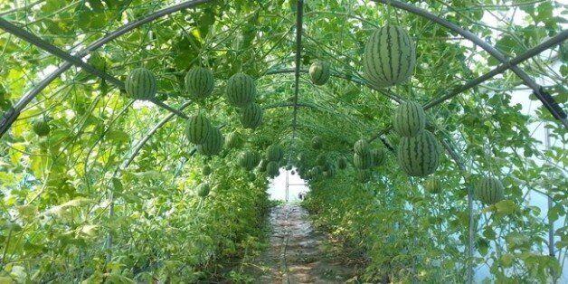 경남 남해군이 비 가림 하우스에서 터널방식으로 시험재배한 애플수박이 공중에 매달려 있다. 애플수박은 껍질째 먹을 수 있는
