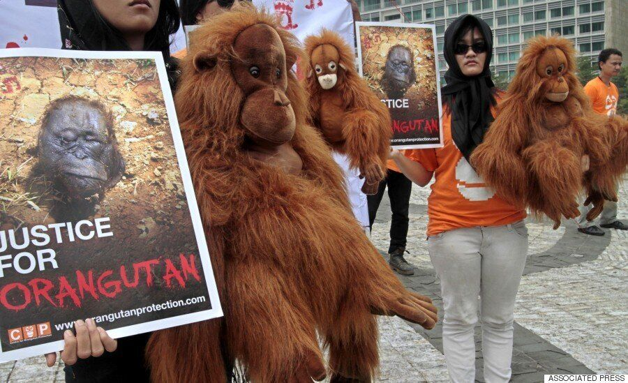 어디에나 들어가는 팜유가 오랑우탄을 죽이고 동남아시아 숲을 파괴하고