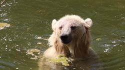 북극곰과 회색곰이 사랑에