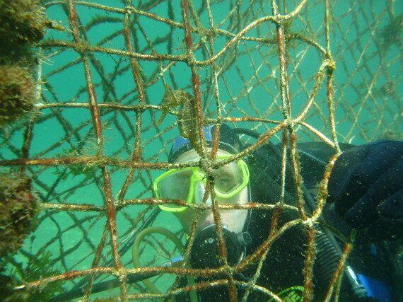 엄청나게 희귀하고 멋진 해마들이 사라지고 있다(사진,