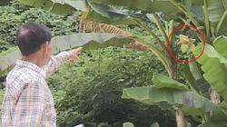 청주 노지에서 6년 만에 열린 바나나