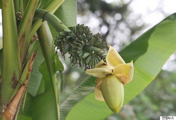 청주 노지에서 6년만에 바나나가