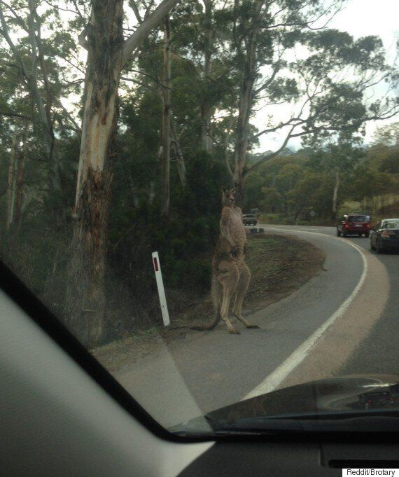 호주에서는 길을 건너는 캥거루와 마주칠 수
