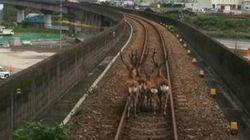 일본의 전철을 멈추게 만든 사슴