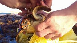 바다의 쓰레기 때문에 목 졸려 죽을 뻔한 새끼 거북이(사진,