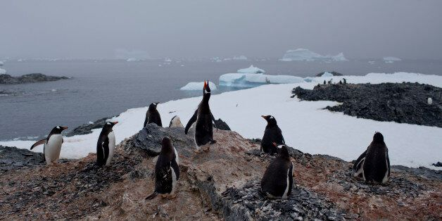 In this Jan. 22, 2015 photo, gentoo penguins stand on a rock near station Bernardo O'Higgins, Antarctica....