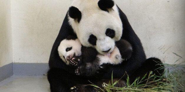대만 동물원 판다는 귀여움을 받기 위해 임신한