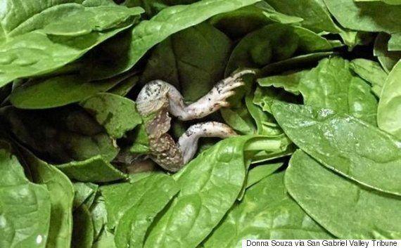 유기농 시금치에서 죽은 개구리를