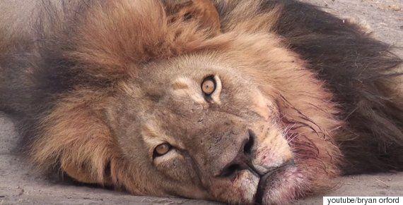짐바브웨의 상징, 사자 '세실'의 죽음이 남긴