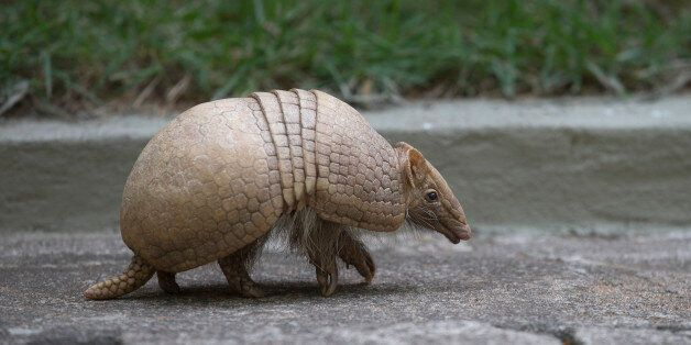 An armadillo, named Ana Botafogo in honor of the Brazilian dancer, walks in the Rio Zoo in Rio de Janeiro,...