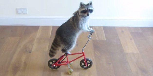이 너구리는 자전거 선수가