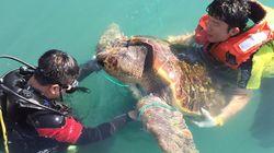 100살 된 멸종위기 붉은 바다거북이가