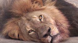 짐바브웨의 상징이었던 사자가 '트로피 사냥'에