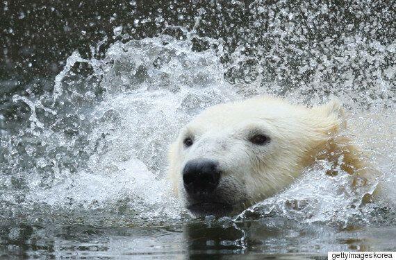 먹잇감이 줄어들면 북극곰이 '유사 동면'에 들어갈 거라는 주장은