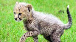 '멸종위기' 치타, 국내 최초로 '자연 번식'