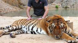당신의 셀카를 위해 호랑이는 이빨이 뽑혀야 했다 | 동물을 사랑하는 '인도적인 여행자'가 되는