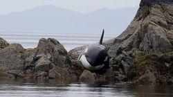 바위에 끼어 울던 범고래를 구한 대단한 사람들(사진,