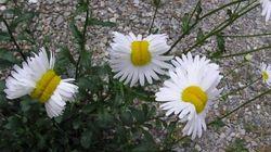 후쿠시마 '방사능 꽃'을 걱정할 필요 없는
