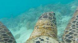 고프로를 단 바다거북과 산호초를
